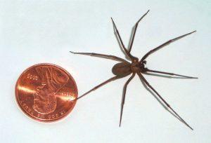 Brown Recluse spider Austin
