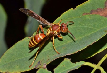 Texas paper wasps