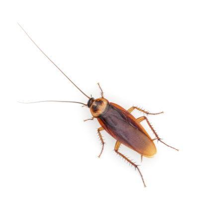 American roach Austin