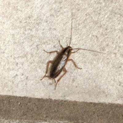 German roach Austin