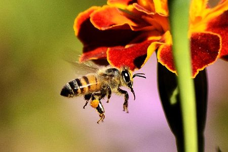 Honey Bees Austin