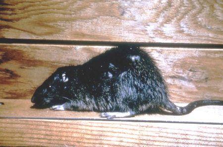 Norway rat Austin