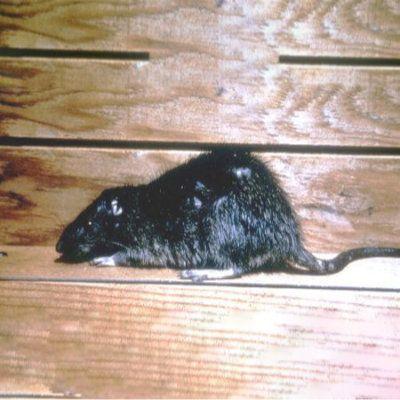 Rat Austin