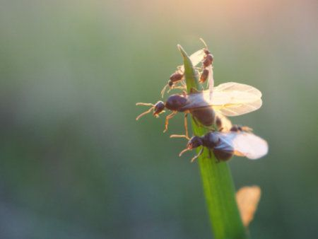 Winged ant Austin