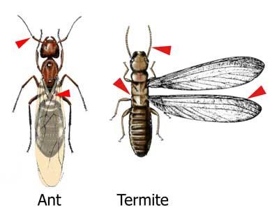 Ant Termite comparison