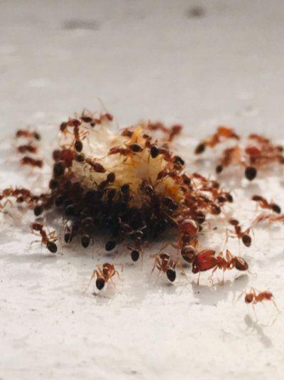 Ants on food