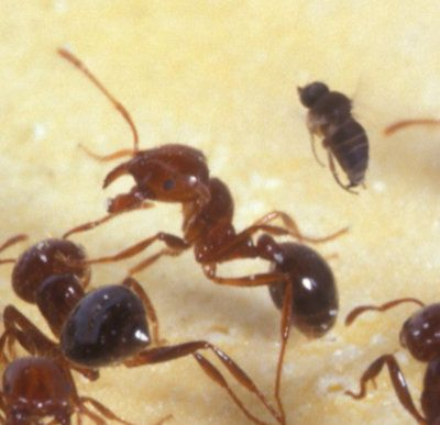 Decapitating fire ant fly