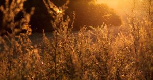A close-up photo of swaying shrubs and pollen at dusk. Photo by Lukasz Szmigiel for Unsplash.