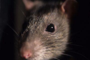 history of sewer rats b & b pumping azle