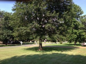 Pin Oak Before Tree Pruning.