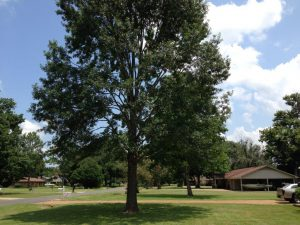 Pin Oak Tree After Pruned.