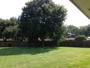 White Oak Tree Before