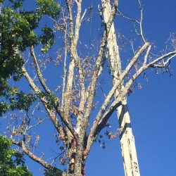 Tree Removal in Pineville