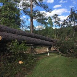 Storm Damage Pine Tree in Natchitoches