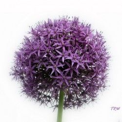 Wedding Flowers: Allium