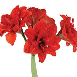 Wedding Flowers: Amaryllis