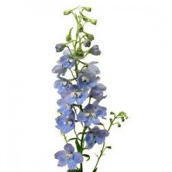 Wedding Flowers: Belladonna Delphinium