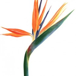 Wedding Flowers: Birds of Paradise