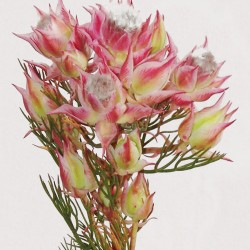 Wedding Flowers: Blushing Bride Protea