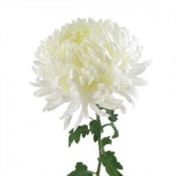 Wedding Flowers: China Mum