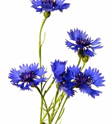 Wedding Flowers: Cornflower