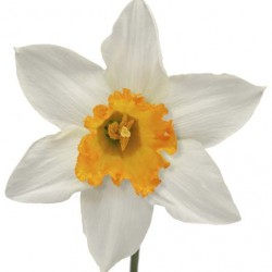 Wedding Flowers: Daffodil