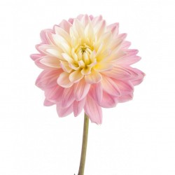 Wedding Flowers: Dahlia