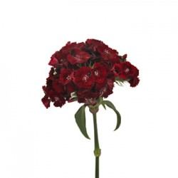 Wedding Flowers: Dianthus