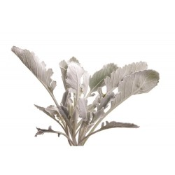 Wedding Flowers: Dusty Miller