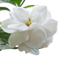 Wedding Flowers: Gardenia