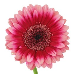 Wedding Flowers: Gerbera Daisy