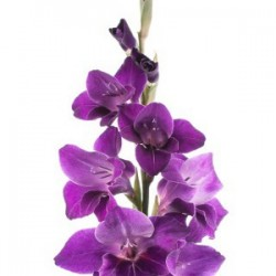 Wedding Flowers: Gladiola