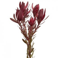 Colorado Wedding Flowers: Leucadendron