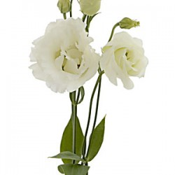 Colorado Wedding Flowers: Lisianthus