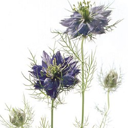 Colorado Wedding Flowers: Nigella