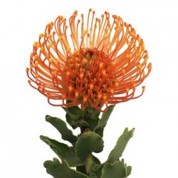 Colorado Wedding Flowers: Pin Cushion Protea