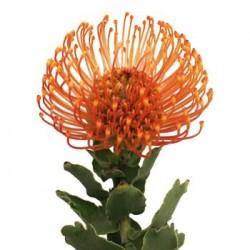 Colorado Wedding Flowers: Pin Cushion Protea