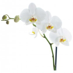 Colorado Wedding Flowers: Phalaenopsis Orchid