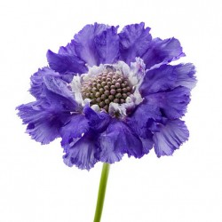 Wedding Flowers: Scabiosa