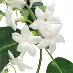 Wedding Flowers: Stephanotis