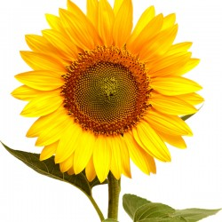 Wedding Flowers: Sunflowers
