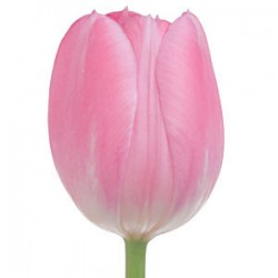 Wedding Flowers: Field Tulip