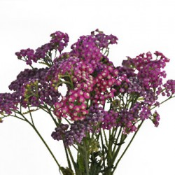 Wedding Flowers: Yarrow