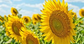 pic of sunflowers