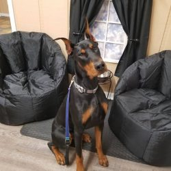 A Rottweiler sitting nicely in our daycare lounge area - Canine Oasis