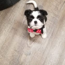 A small black and white dog with bow at dog boarding - Canine Oasis