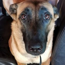 A German Shepherd with puppy dog eyes - Canine Oasis
