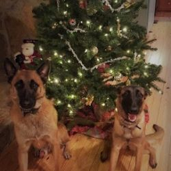 Two dogs sitting in front of a Christmas tree at dog boarding - Canine Oasis