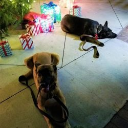 Two dogs in front of a Christmas tree outside at doggy daycare - Canine Oasis
