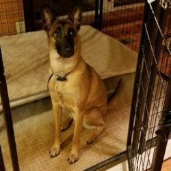 A German Shepherd sitting nicely in his crate - Canine Oasis